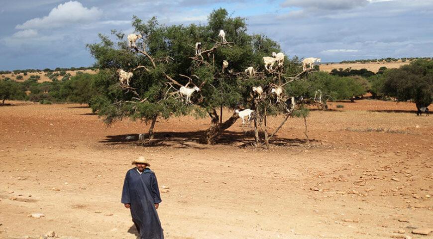 Ziegen mögen die Nüsse des Arganbaums