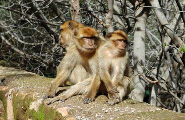 Berberaffen an den Wasserfällen von Ouzoud