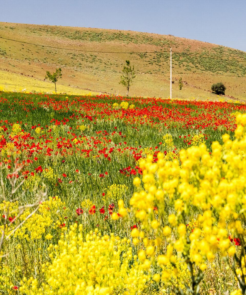 Mittlerer-Atlas_Blumen